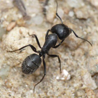 Черный муравей-древоточец (Camponotus vagus), внешний вид сверху