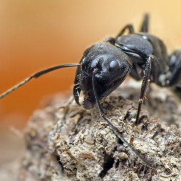 Черный муравей-древоточец, внешний вид челюстей