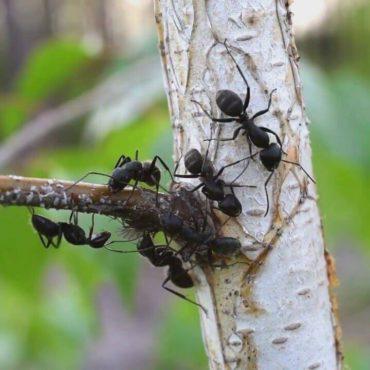 Черный муравей-древоточец (Camponotus vagus) на ветке