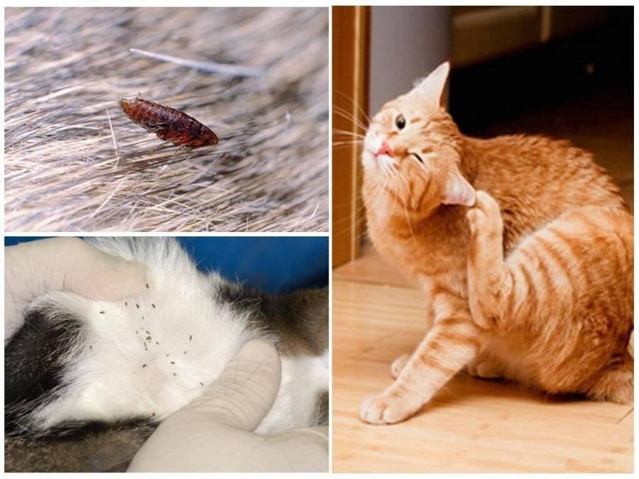 Кошачьи блохи кусают человека?
