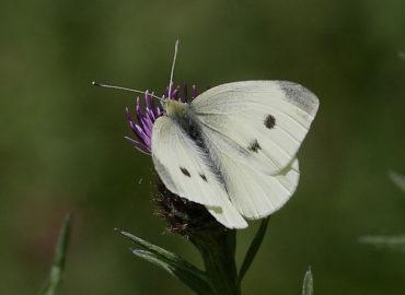 Репная белянка (репница): бабочка, фото