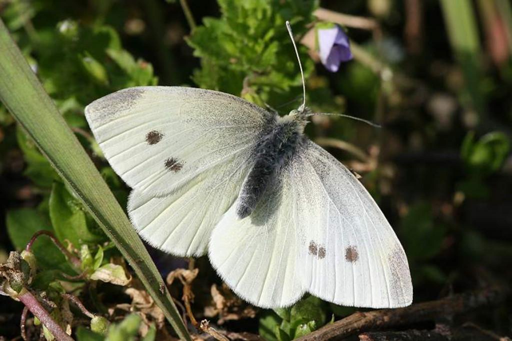 Репная белянка (репница): бабочка, внешний вид