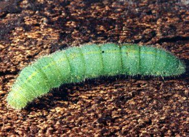 Репная белянка (репница): гусеница, фото