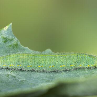 Гусеница репницы (репной белянки)