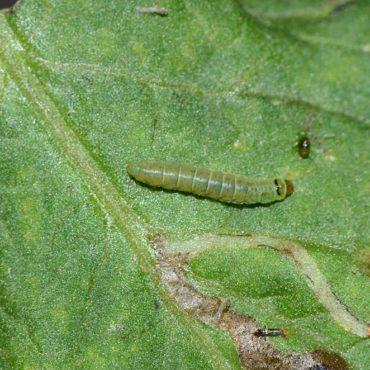 Томатная минирующая моль, гусеница