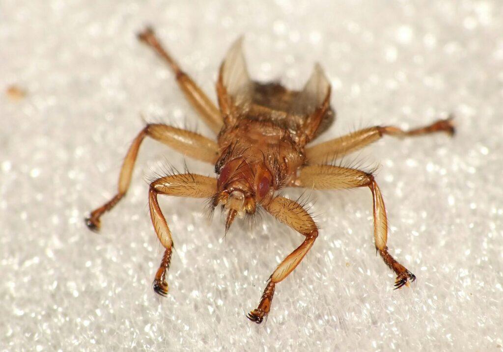 Оленья кровососка (лосиная муха) без крыльев, фото