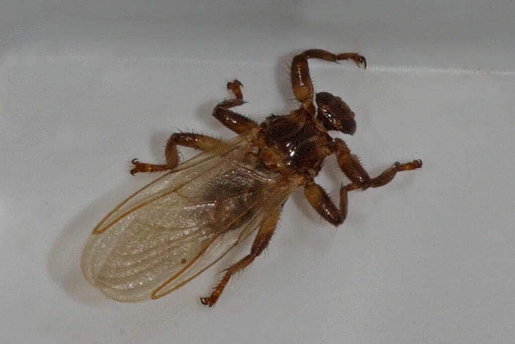 Оленья кровососка или лосиная муха, фото с крыльями
