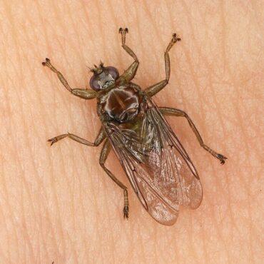 Лосиная муха, внешний вид