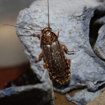 Мраморный таракан: внешний вид
