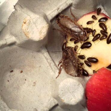 Мраморные тараканы: кормление в домашних условиях