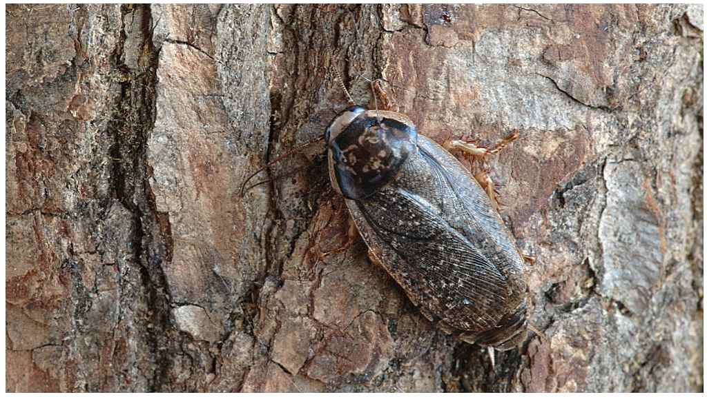 Мраморный таракан, внешний вид