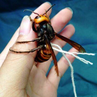 Гигантский азиатский шершень-убийца, размеры