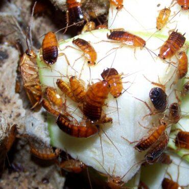 Туркменский таракан, кормление