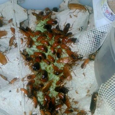Туркменский таракан, разведение