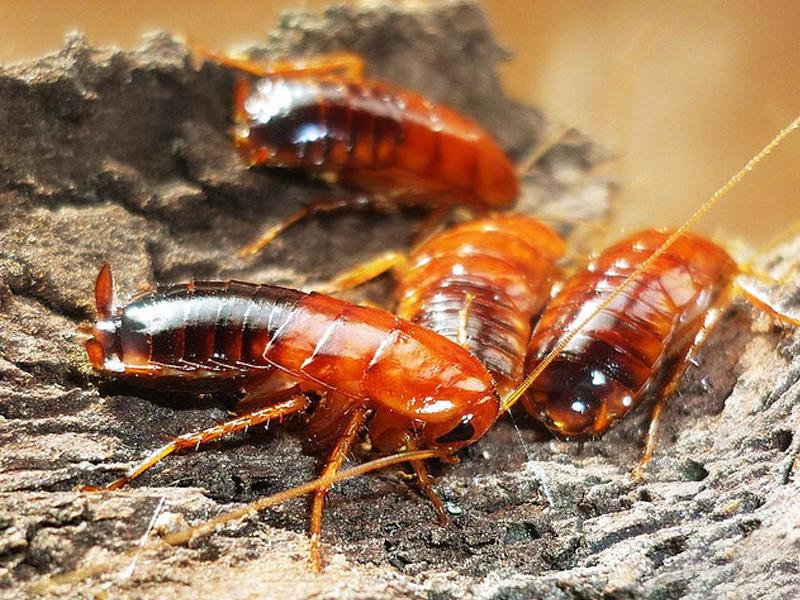 Туркменский таракан, внешний вид