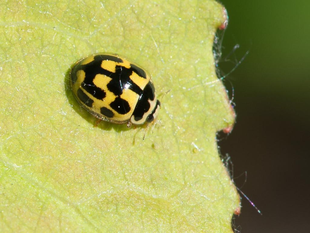 Четырнадцатиточечная коровка (Propylea quatuordecimpunctata)