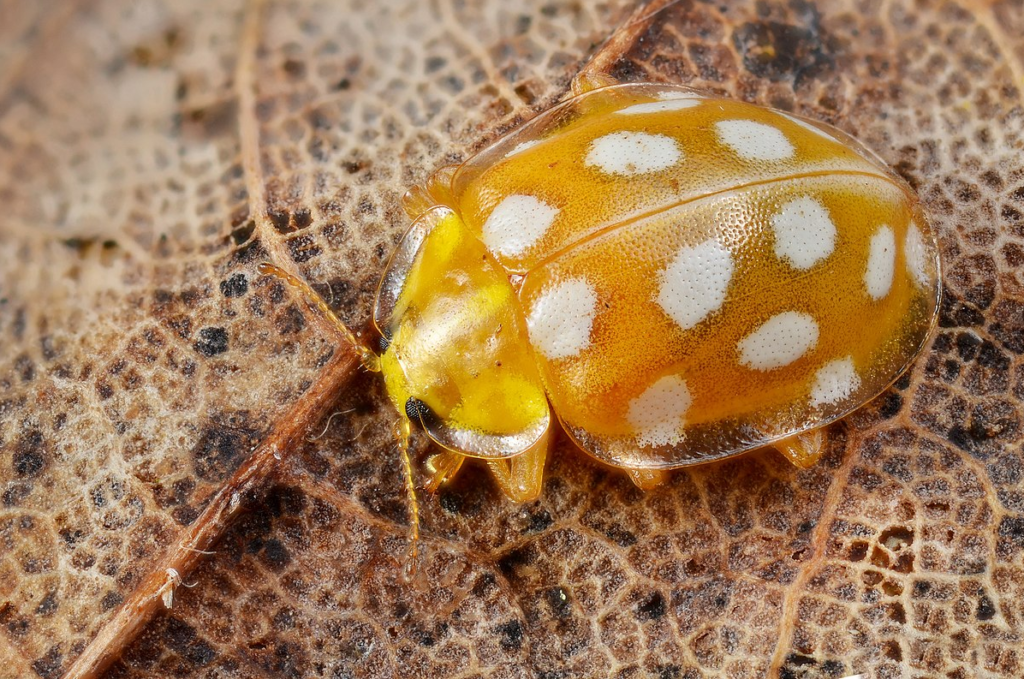 Галиция шестнадцатипятнистая (Halyzia sedecimguttata)