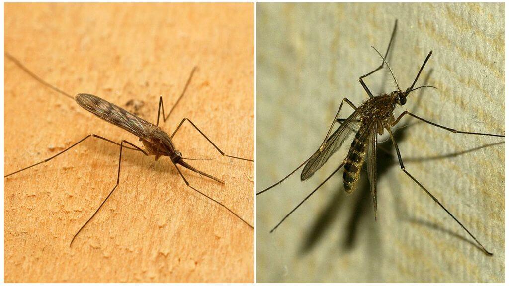 Малярийный комар (анофелес) и комар обыкновенный (пискун)