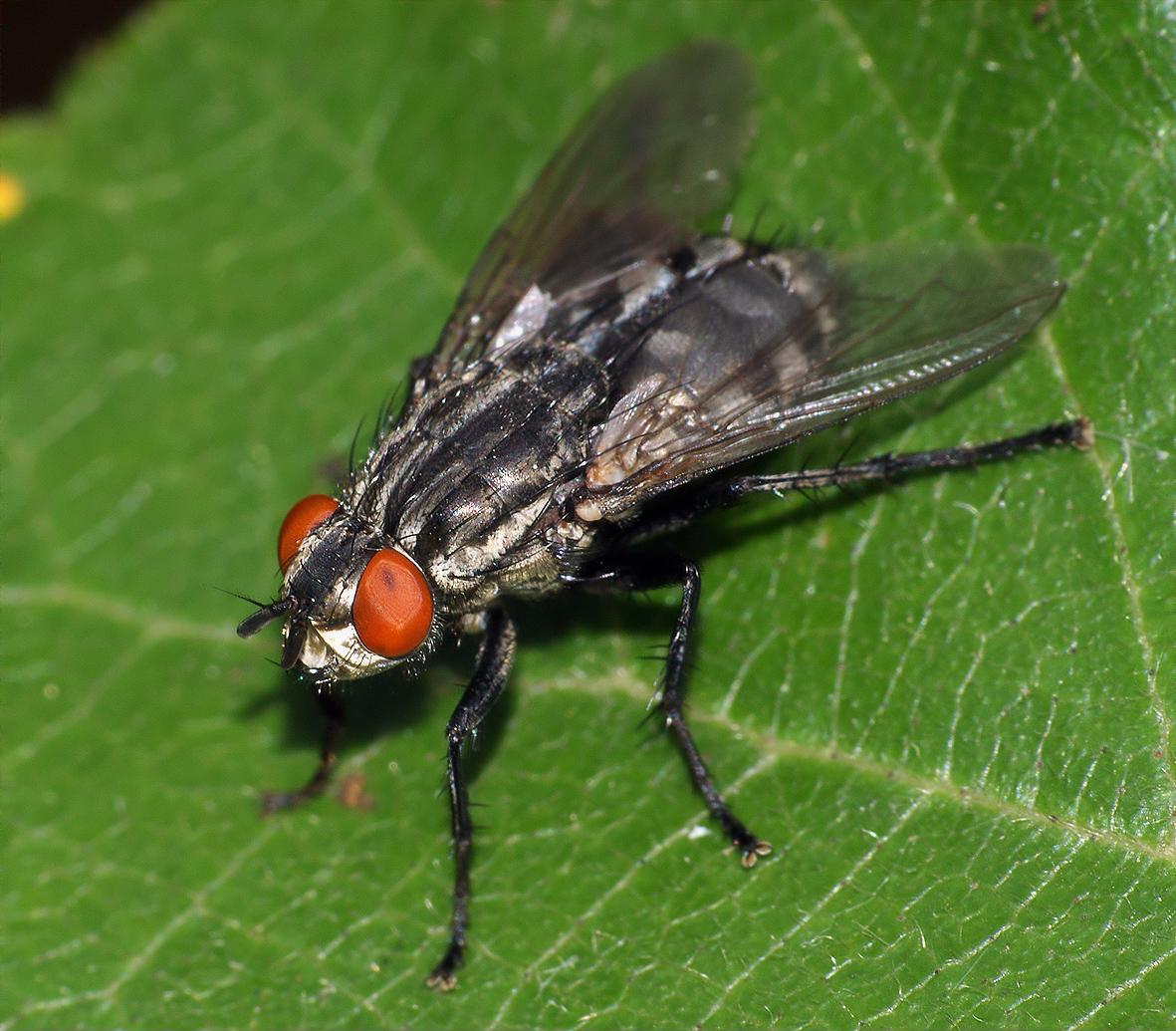 Серая мясная муха, внешний вид