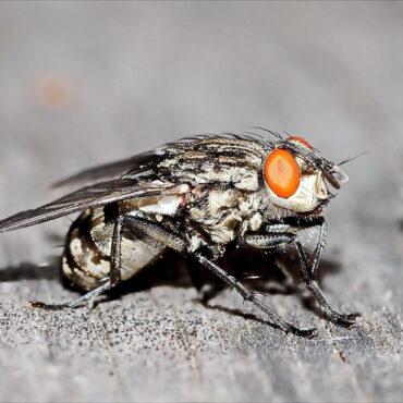 Серая мясная муха, фото