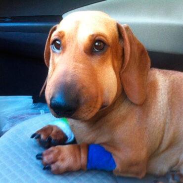 Оса укусила собаку в морду: первая помощь