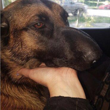 Оса укусила собаку: первая помощь
