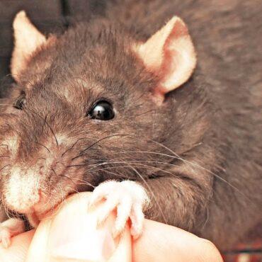 Укусила крыса
