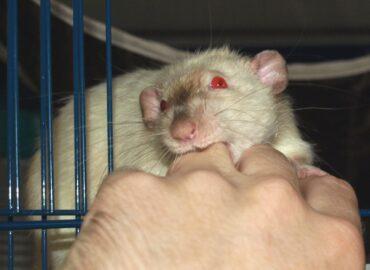 Укус крысы: как избежать?