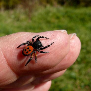 Эрезус черный на пальце, сравнительные размеры
