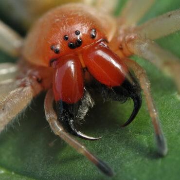 Желтосумный колющий паук или желтый сак, хелицеры