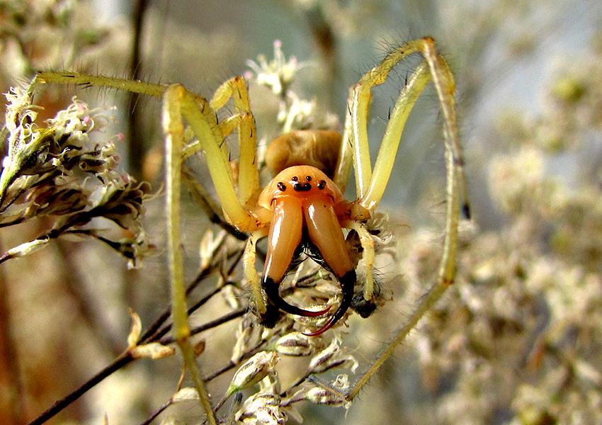 Желтосумный колющий паук или желтый сак (Cheiracanthium punctorium)