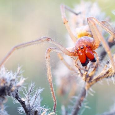Желтосумный колющий паук или желтый сак