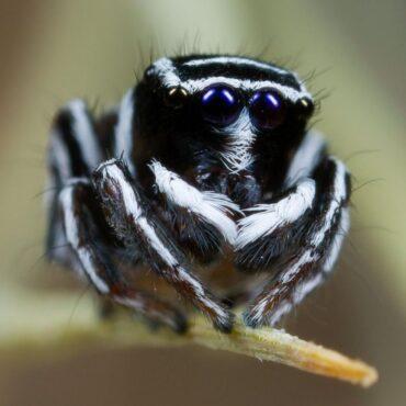 Паук-скакун, вид Maratus sceletus
