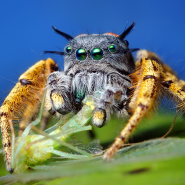 Паук-скакун, вид Phidippus mystaceus