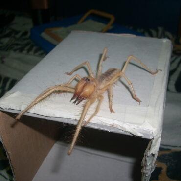 Сольпуга, бихорка или верблюжий паук (Solifugae)