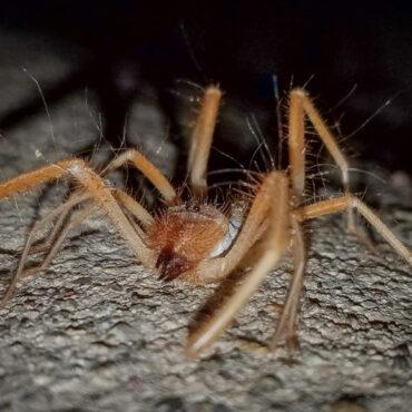 Верблюжий паук, ветряной скорпион или бихорка (Solifugae)