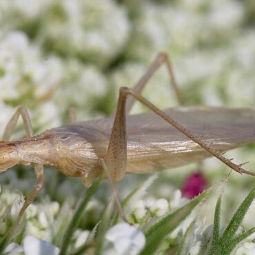 Трубачик обыкновенный или стеблевой сверчок