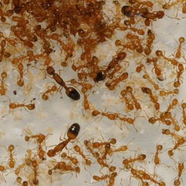 Как избавиться от рыжих муравьев? Средства